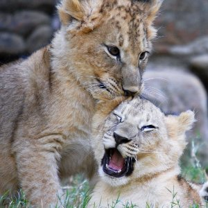 Kathleen Gleeson Counseling Iowa City PTSD lion cubs